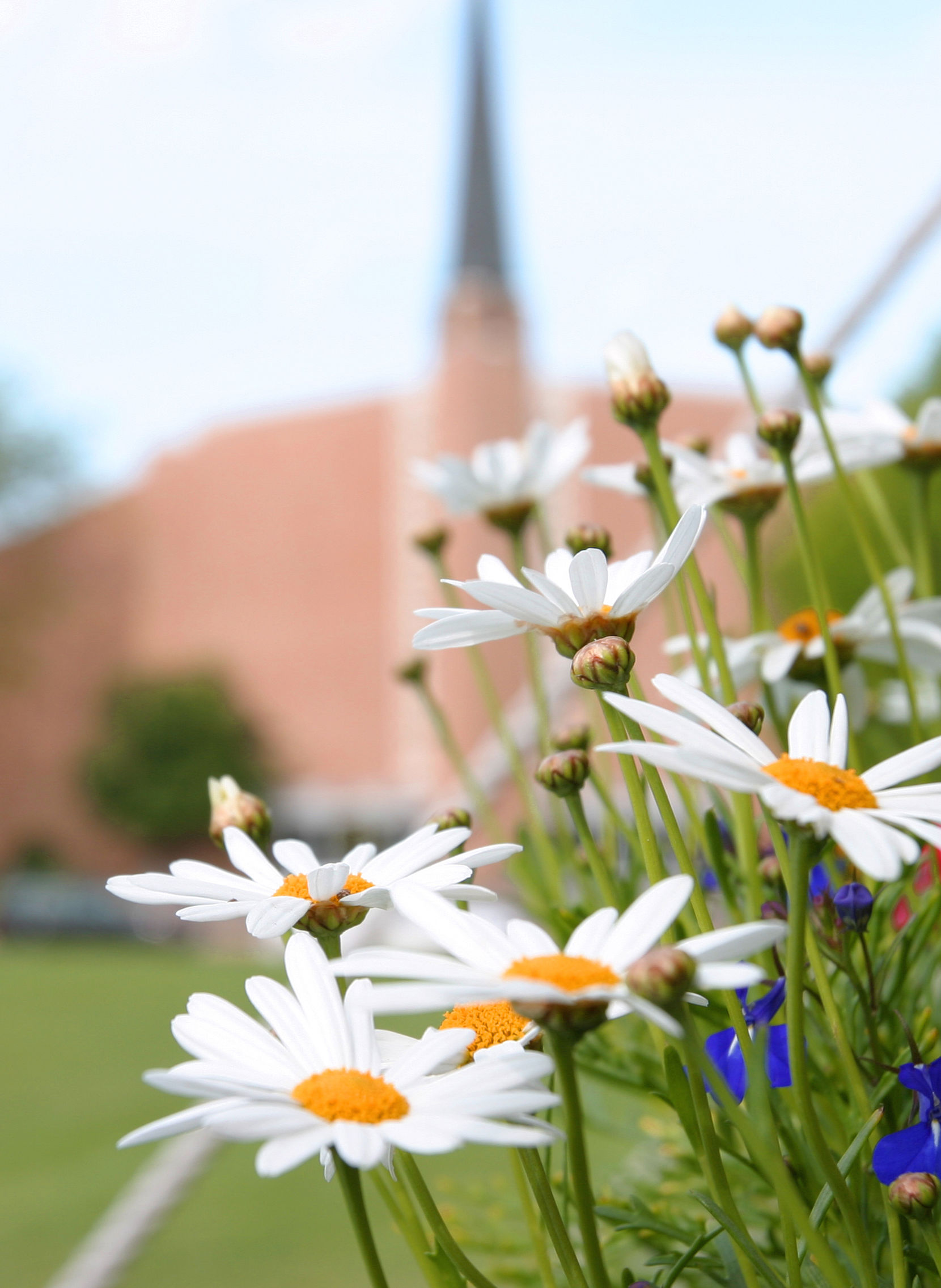 Photo of white daisies outside of the University Church.